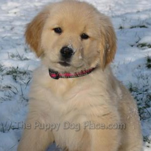 Golden Retriever puppy Chriss