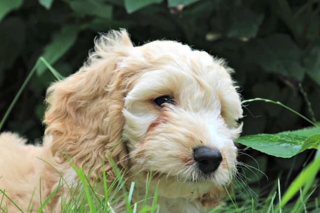 Cockapoo (designer dog, cocker spaniel crossed with poodle) puppy playing in the grass