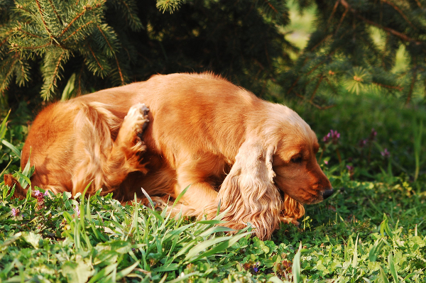 Mange in dogs causes itching