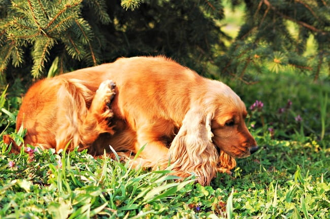 Cocker spaniel dog scratching himself outdoors