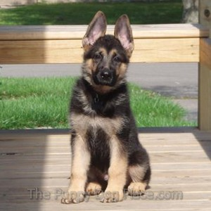 German Shepherd Puppy Coda