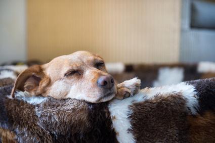 Senior dog in comfortable dog bed
