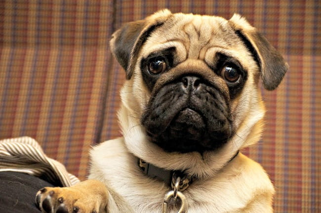 Pug with confused expression