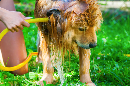 How to cool down a dog with heat stroke