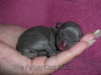 tiny newborn chihuahua puppy