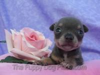 Chihuahua puppy Cosita