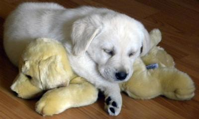 7 week old Cream Labrador Retriever puppy napping