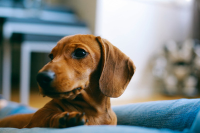 Anxious dachshund with owner on sofa