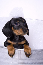 Doxie puppy taking a bat