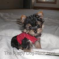 Tiny Yorkie puppy Dexter Jame