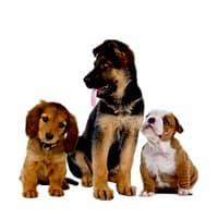 Three puppies of different breeds. German Shepherd, Dachshund and English Bulldog