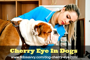 Dog with cherry eye being examined by veterinarian