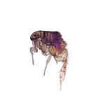 The common dog flea