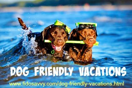 Labrador Retrievers having fun on a dog-friendly vacation