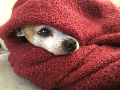 Scared dog hiding under a blanket