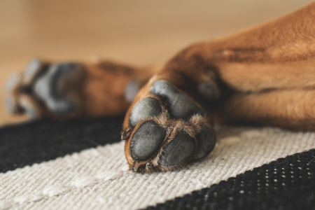 Topical dog allergies can cause swollen or irritated paws