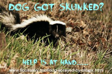 skunk who has sprayed a dog