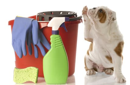 Bulldog with bucket and dog urine cleaning products