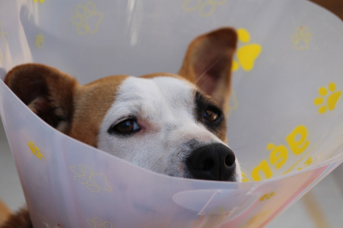 Dog wearing Elizabethan collar