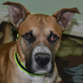 Eye Swelling In Boxer Dogs