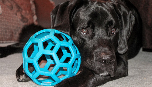 Labrador Retriever puppy with Hollee Roller ball