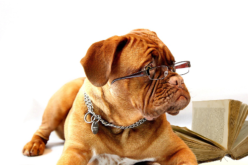 Dogue de Bordeaux wearing glasses and studying a book