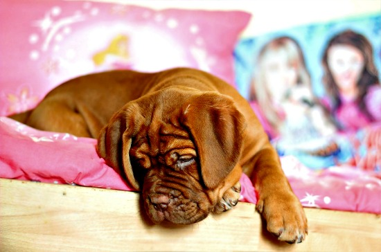 Female Dogue de Bordeaux puppy