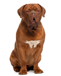 Dogue de Bordeaux adult