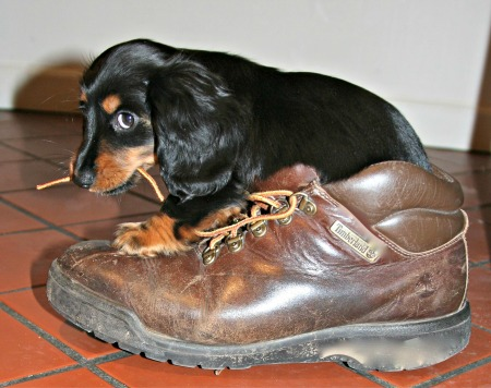 Dachshund puppy chewing on a shoelace