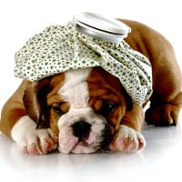 English Bulldog puppy with icepack on his head
