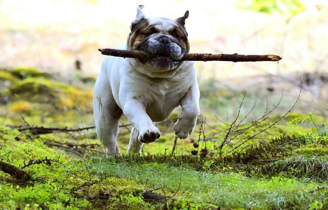Happy English Bulldog playing with a stick outdoors