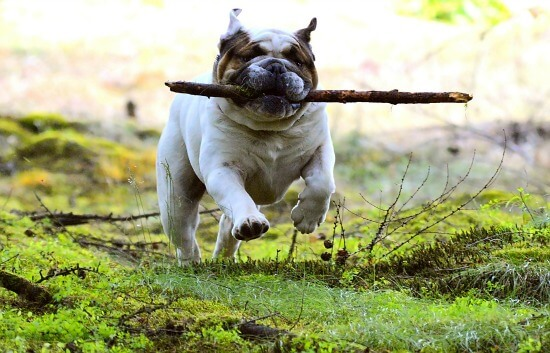 English Bulldog with stick
