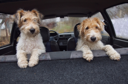 Two Fox Terrier friends in a car