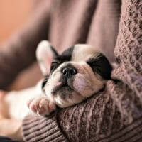 French bulldog puppy in owners arms
