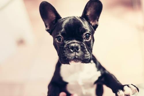 Black and white French Bulldog pup