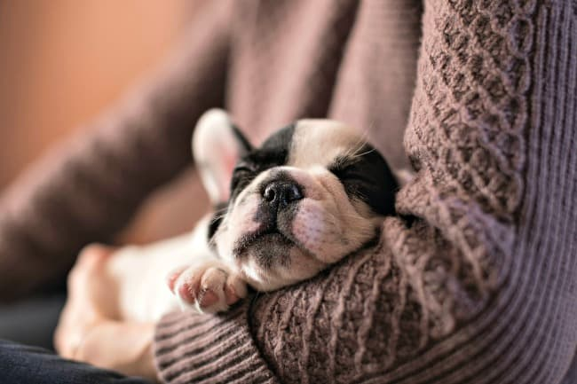 Black and white French Bulldog puppy sleeping in owner's arms
