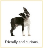 Friendly and curious Boston Terrier