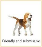 Friendly, submissive Beagle