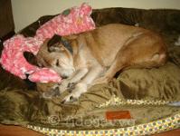 Old dog sleeping