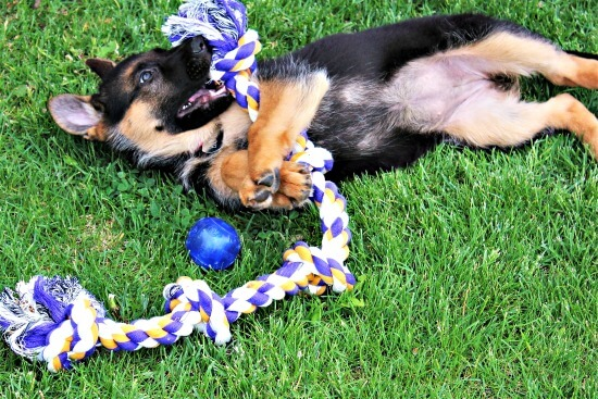 German Shepherd puppy with rope toy