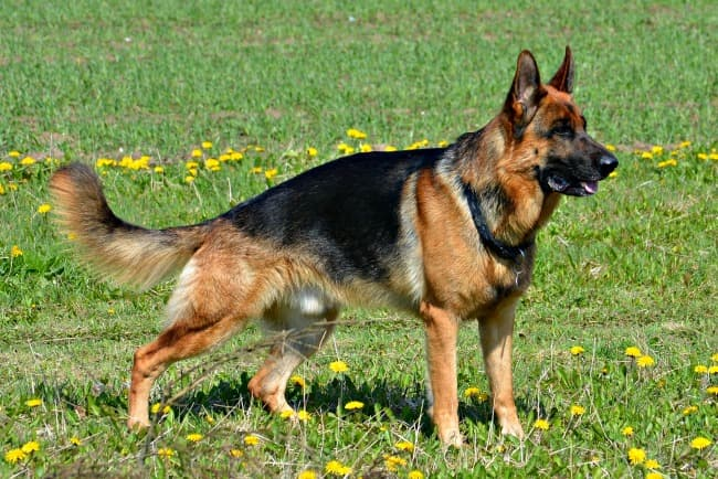 German Shepherd dog standing in the 'stacked' position