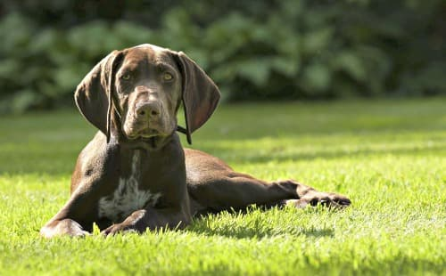 German Shorthaired Pointer pup lying on the grass in the sunshine