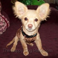 Long coated Chihuahua puppy Ginge