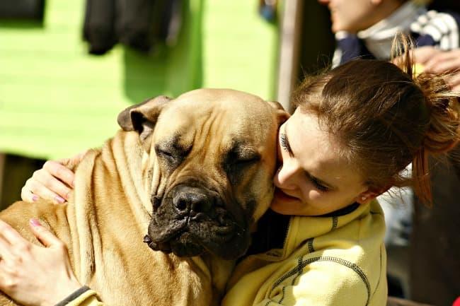 Girl hugging Mastiff dog who is sitting on her lap