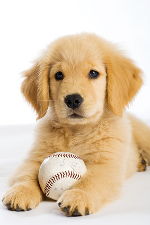 golden retriever puppy with baseball