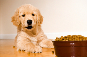 golden retriever puppy with dry dog food
