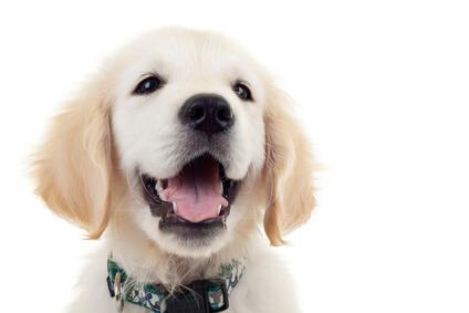 Golden Retriever puppy headshot