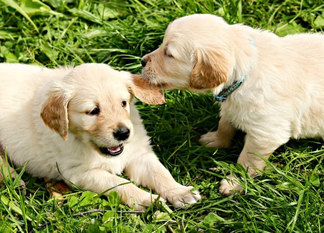 Two golden retriever puppies playing in the grass