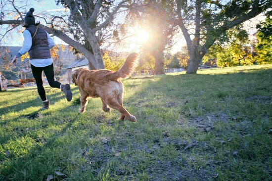 Golden Retriever jogging with owner