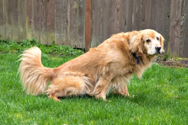 Older Golden Retriever peeing in the grass